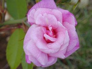 Генетические изменения порождают ферменты, которые создают эффект появления запаха (использовано изображение pubs.acs.org). Запах китайской розы (показана на рисунке) и чайной розы напоминает черный чай.