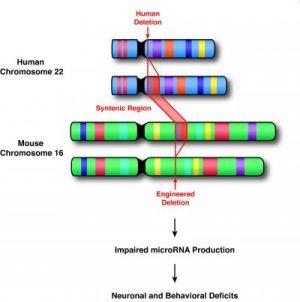 Человеческая хромосома 22 и кусок потерянной хромосомы (22q11). (кликните картинку для увеличения)