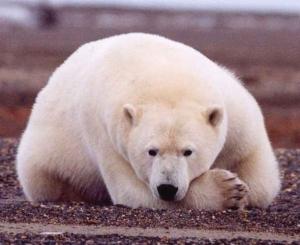 Белый медведь <i>Ursus maritimus</i> (рисунок с сайта http://www.solarnavigator.net). (кликните картинку для увеличения)
