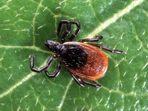 Черноногий клещ <i>Ixodes scapularis</i> – переносчик болезни Лайма (рисунок с сайта: http://www.cirrusimage.com/). (кликните картинку для увеличения)