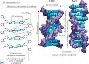 Модель строения молекулы ДНК (кликните картинку для увеличения)