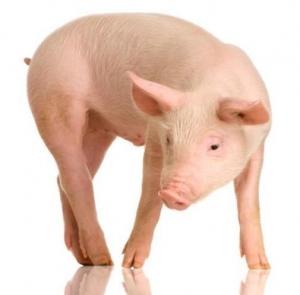 Учёные стимулировали клетки свиньи к трансформации в плюрипотентные стволовые клетки, что открывает новые возможности создания моделей человеческих заболеваний, позволит создать генетически изменённых животных для трансплантации органов человеку или спроектировать свиней, устойчивых к свиному гриппу. (кликните картинку для увеличения)