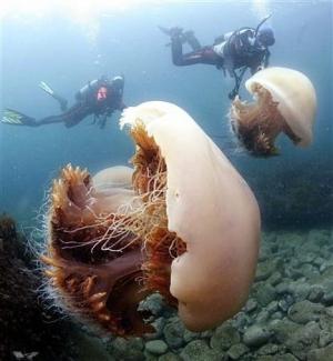 Гигантская медуза Номура (<i>Nemopilema nomurai</i>) (рисунок с сайта www.pinktentacle.com). (кликните картинку для увеличения)