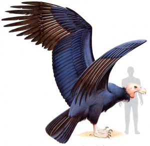 Гигантская древняя птица аргентавис (<i>Argentavis magnificens</i>) (рисунок с сайта www.oiseauxdeproie.tcedi.com).  (кликните картинку для увеличения)