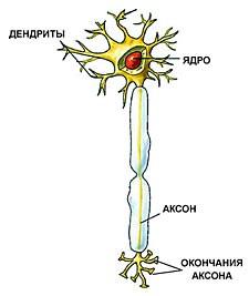 Общее строение нейрона.