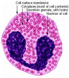 Схема строения эозинофила.