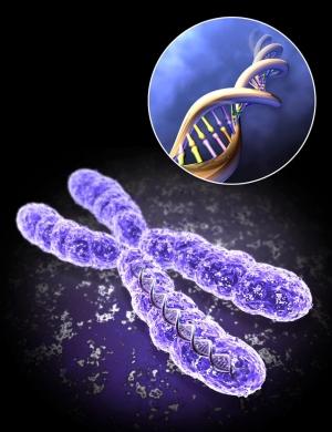 В нижней части рисунка представлена модель Х-хромосомы. В верхней части рисунка (в правом углу) выделен участок ДНК, расположенный на представленной Х-хромосоме. (кликните картинку для увеличения)
