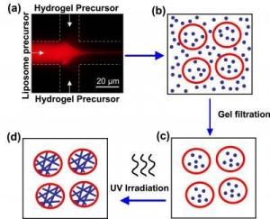 Схематическое изображение процесса создания везикул на основе липосом и частиц гидрогеля. Раствор, содержащий фосфолипиды, смешивают с предшественниками частиц гидрогеля (а). В результате формируются липосомы, которые захватывают внутрь себя молекулы-предшественники частиц гидрогеля (b). Частицы, не попавшие внутрь липосом, удаляются из смеси (с). Далее конструкция подвергается облучению ультрафиолетовым светом. Это необходимо для окончательного созревания гибридных частиц (d). (кликните картинку для увеличения)