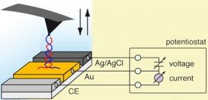 Отдельные молекулы двуспиральной ДНК, связанные с наконечником атомного силового микроскопа можно наносить непосредственно на поверхность золотого электрода, используя разность потенциалов. (кликните картинку для увеличения)
