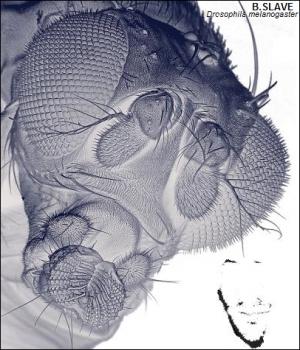 Drosophila melanogaster. (кликните картинку для увеличения)