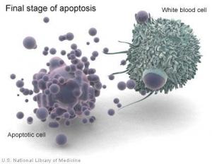 На рисунке представлена белая клетка крови, которая начинает погибать  в результате апоптоза (справа) и та же белая клетка крови, находящаяся на последнем этапе данного процесса (слева). (кликните картинку для увеличения)