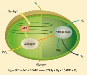 Производство биоводорода с помощью клеток Cyanothece 51142 используя солнечную энергию и атмосферный CO<sub>2</sub> и/или глицерин. CO<sub>2</sub> фиксируется в течении дня в синтезе глицерина, который служит как источник энергии и источник электронов для синтеза H<sub>2</sub> в ночное время (кликните картинку для увеличения)