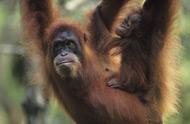 Орангутан (малайск. orang-utan, буквально — лесной человек) (Pongo pygmaeus) - крупная человекообразная обезьяна.