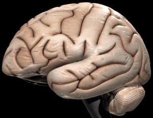 Головной мозг. Вид сбоку. (кликните картинку для увеличения)
