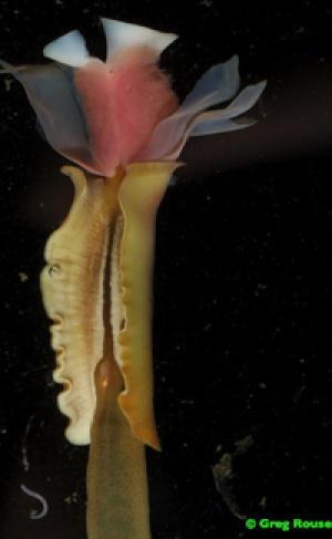 «Базовые» виды кольчатых червей обнаруживаются в районе холодных и горячих источников.