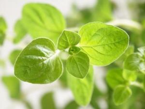 Растение душицы. (кликните картинку для увеличения)