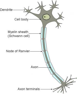 Общие представления о строении нейрона. (кликните картинку для увеличения)
