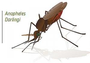 Иллюстрация комара вида <i>Anopheles darlingi</i>. (кликните картинку для увеличения)