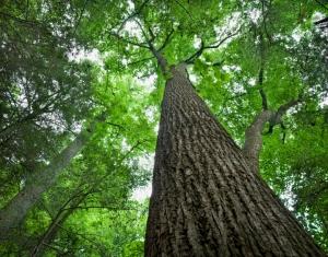 Американские ученые предложили свое объяснение максимальной высоте деревьев и размера листьев растительных гигантов. (кликните картинку для увеличения)