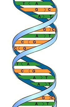 Модель строения ДНК.