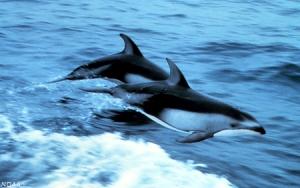 Дельфины <i>Lagenorhynchus obliquidens</i>. (кликните картинку для увеличения)