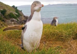 Великолепный пингвин (<i>Megadyptes antipodes</i>, находится под угрозой исчезновения). (кликните картинку для увеличения)