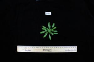 Эксперименты с растениями рода <i>Arabidopsis</i> могут помочь создать в будущем ЭКО-лечение. (кликните картинку для увеличения)