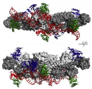 Изображение комплекса, метилирующего РНК, на котором показано, что только одна пара белков (выделены синим) может добавлять метильные группы к РНК (выделена красным) в единицу времени. (кликните картинку для увеличения)