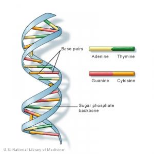 Общая модель строения ДНК. (кликните картинку для увеличения)