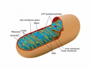 Модель строения митохондрии. (кликните картинку для увеличения)