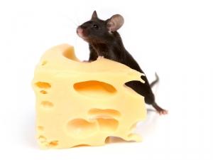 Хоть все современные эксперименты, направленные на изучение MOTS-c, проводились только на лабораторных мышах, молекулярные механизмы, обеспечивающие его функционирование в организме мышей, есть у всех млекопитающих, включая человека. (кликните картинку для увеличения)