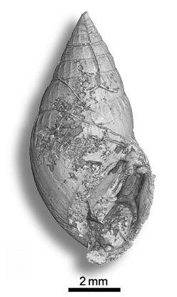 Gastropod Ellobiidae