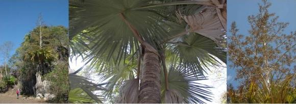 Пальма, которая цветет до смерти